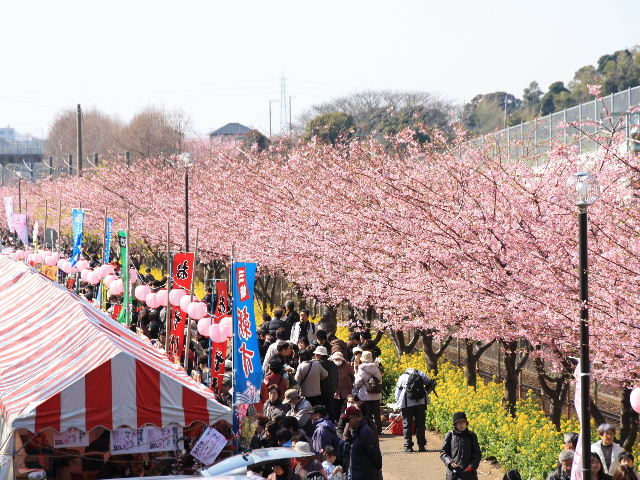 「三浦海岸河津桜まつり」の画像検索結果